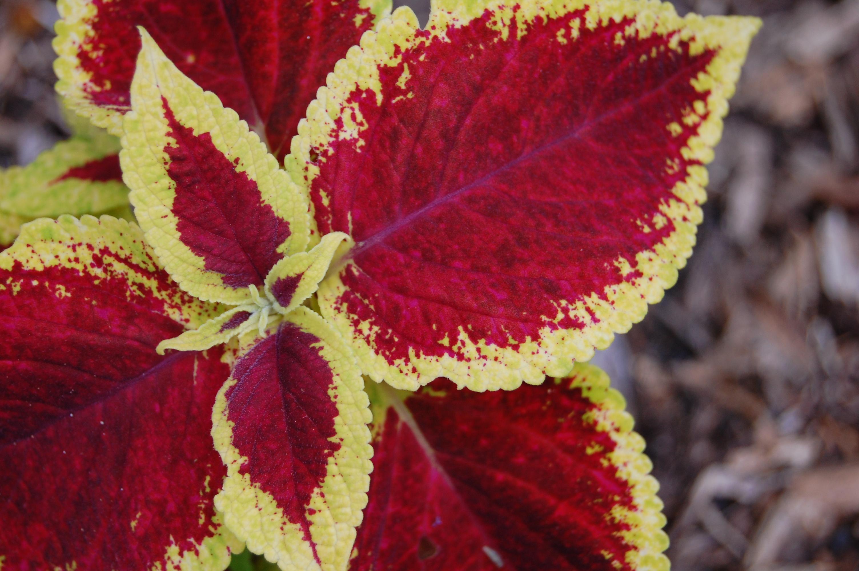 Easy Care Plants Coleus Arthurized Home